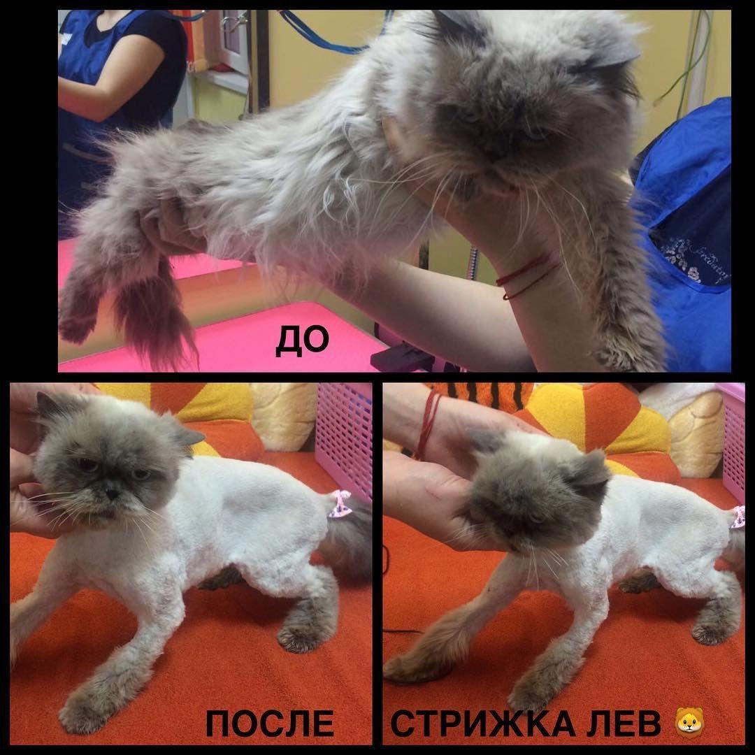 Как в домашних условиях подстричь кошку